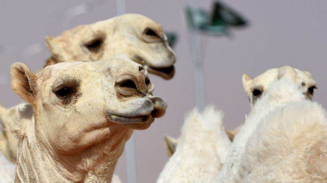 جراحی زیبایی شتر در عربستان