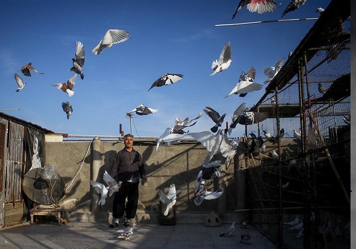 جلد کردن کبوترها
