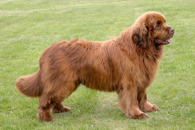 سگ نیو فاندلند