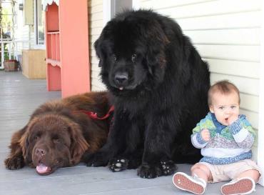 تاریخچه سگ نژاد نیو فاندلند