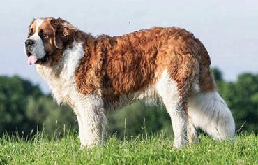 سگ نژاد نیو فاندلند