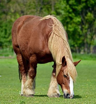 اسب نژاد شلزویگ