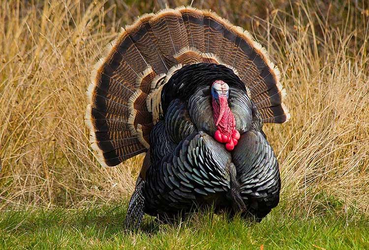 بوقلمون برنز سینه پهن (Broad-breasted Bronze Turkey)