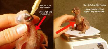 زمان مناسب قطع تغذیه دستی جوجه پرنده