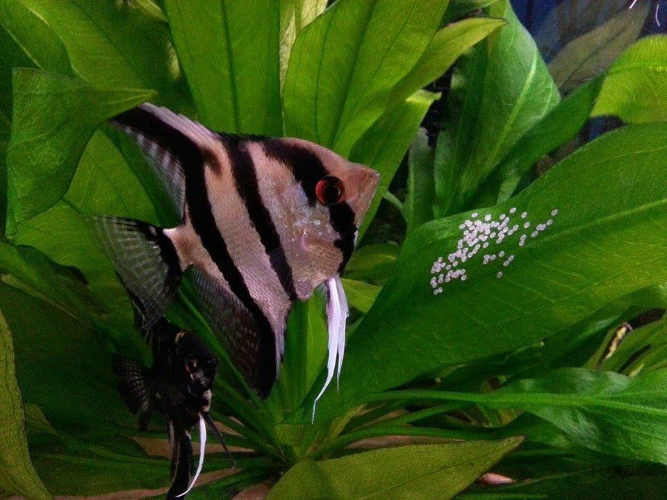 تکثیر ماهی انجل (فرشته ماهی)