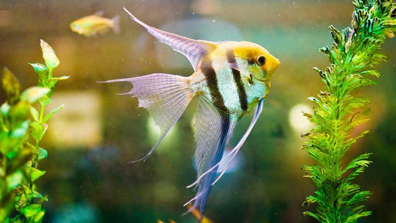 آشنایی با ماهی انجل