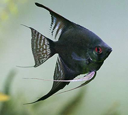 ماهی انجل سیاه