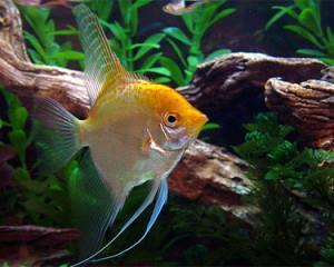 ماهی انجل طلایی