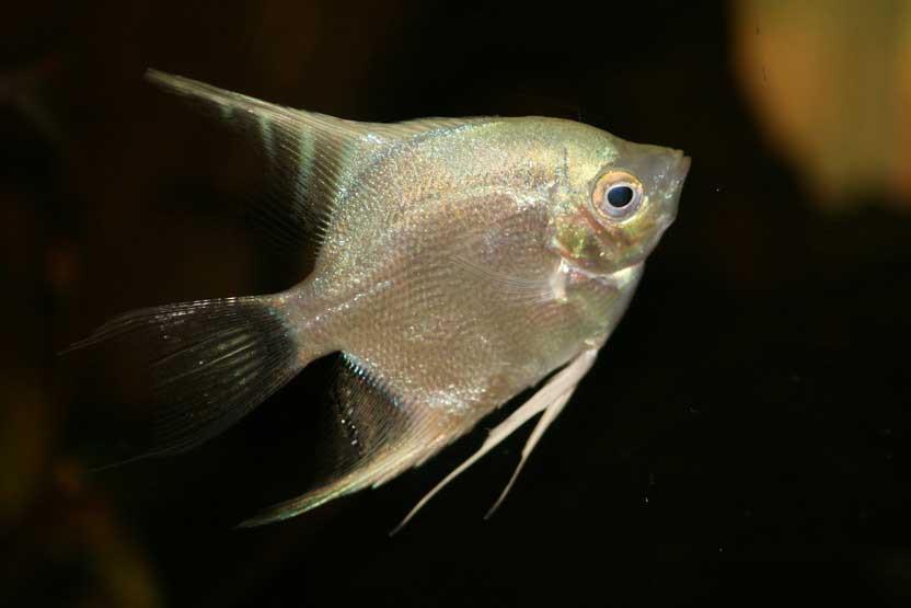 ماهی انجل نقره ای