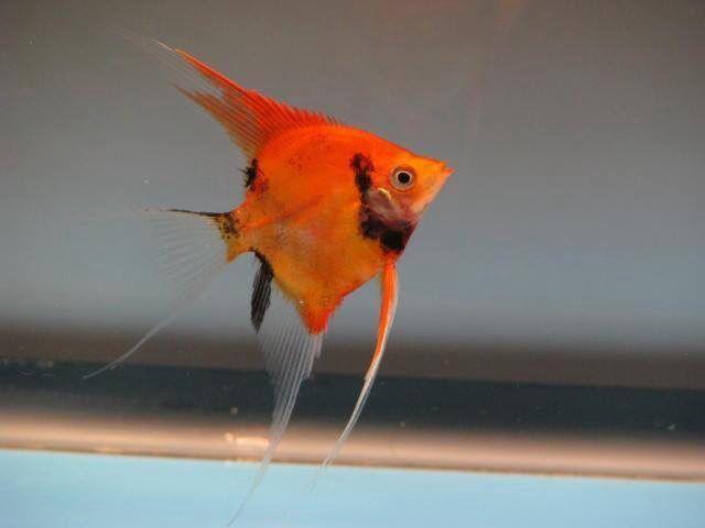ماهی انجل قرمز