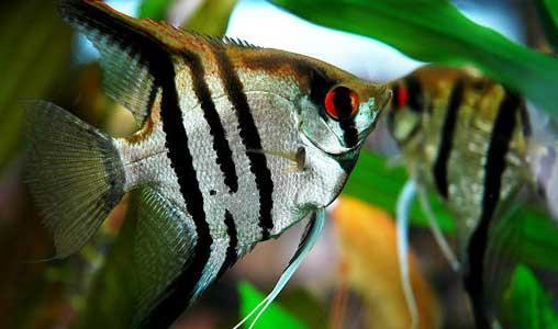 ماهی انجل سه خط