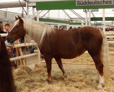 اسب نژاد ساوت ژرمن