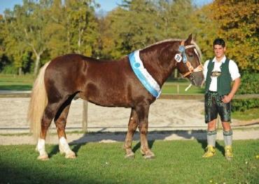 خصوصیات اسب ساوت ژرمن
