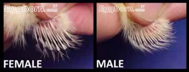 تعیین جنسیت از روی الگوی پر