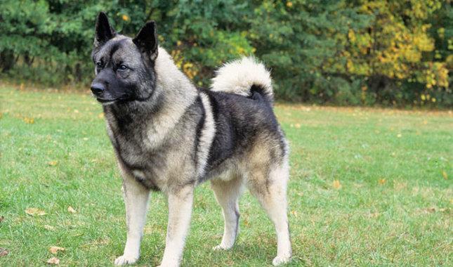 سگ نژاد نرویجین الکهاند (Norwegian Elkhound)