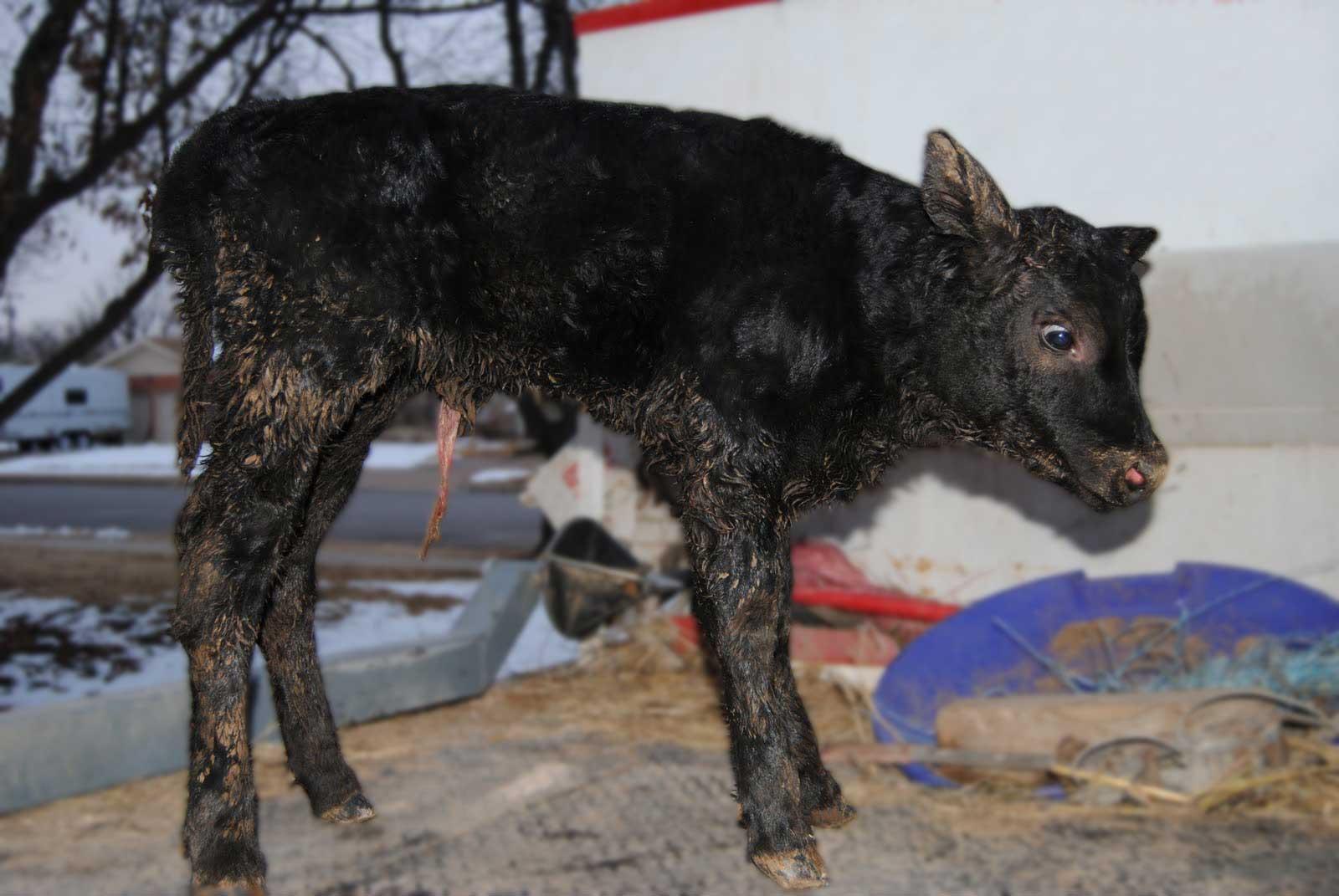 عفونت بند ناف گوساله