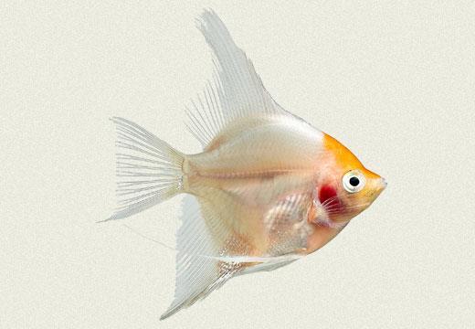 ماهی آنجل سفید خجالتی (White Blushing Angel)