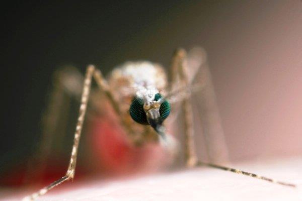 سگ ها بیماری مالاریا را در افراد ردیابی می کنند