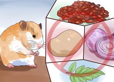 غذاهای مضر برای همستر