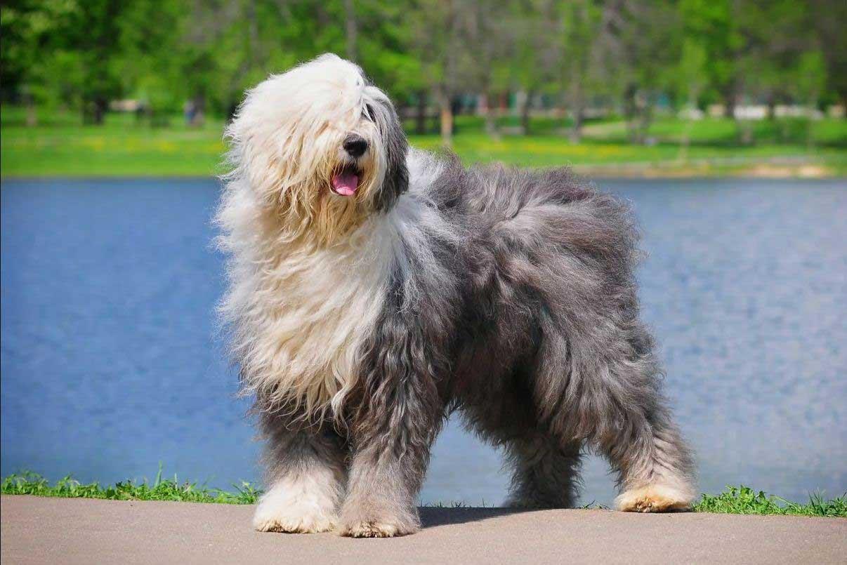 سگ نژاد الدانگلیش شیپداگ
