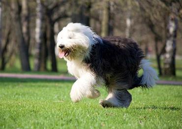 شرایط نگهداری سگ نژاد الدانگلیش شیپداگ