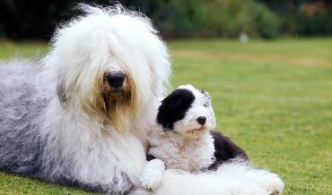 توله سگ شرایط الدانگلیش شیپداگ