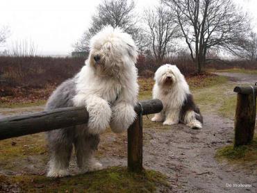 تاریخچه سگ نژاد الدانگلیش شیپداگ