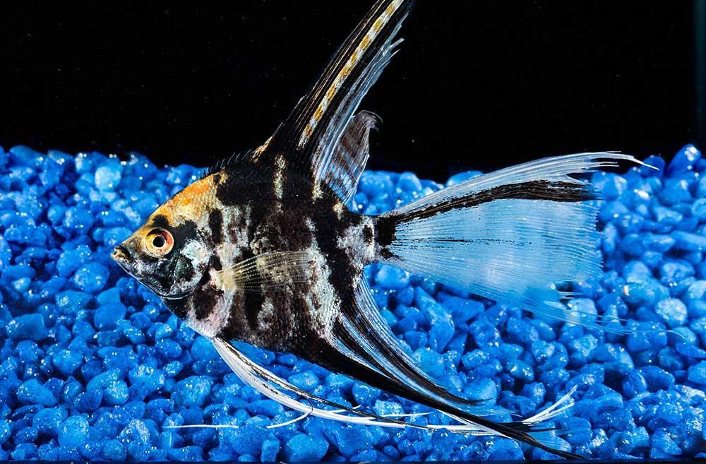 ماهی آنجل مرمری (Marble Veil Angel)