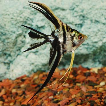 خصوصیات ماهی آنجل مرمری