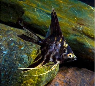 نگهداری ماهی آنجل مرمری