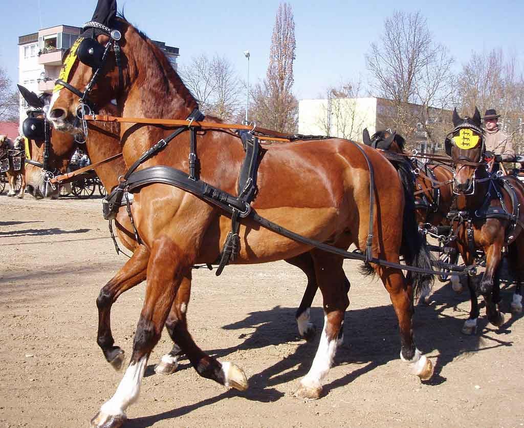 اسب نژاد گلدرلند