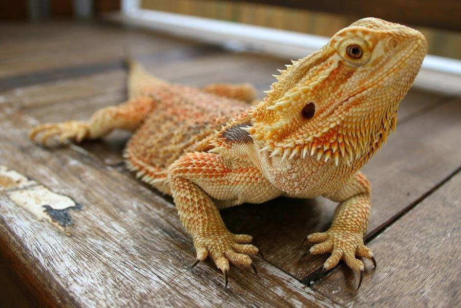 اژدهای ریش دار (Bearded Dragon)
