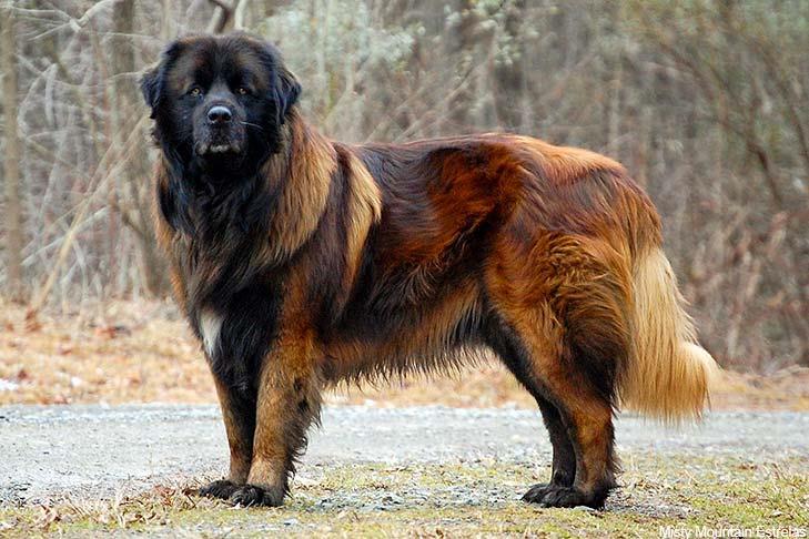 سگ نژاد پرتگیز شپرد