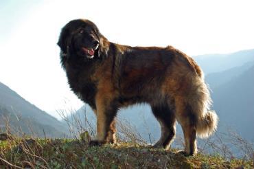 تاریخچه سگ نژاد پرتگیز شپرد