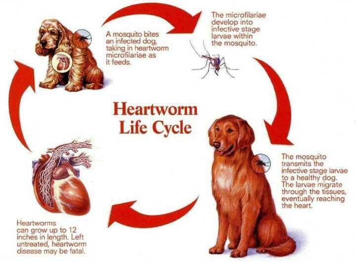 بیماری کرم قلب در سگ