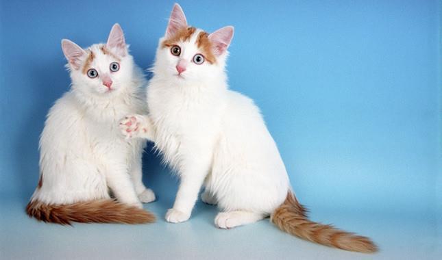 گربه نژاد وان ترکیهای