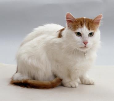 شخصیت گربه نژاد وان ترکیهای