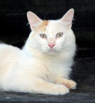 نگهداری گربه نژاد ترکیش وان