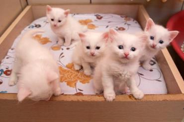 خصوصیات ظاهری گربه نژاد ترکیش وان