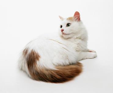 گربه نژاد وان ترکیه ای