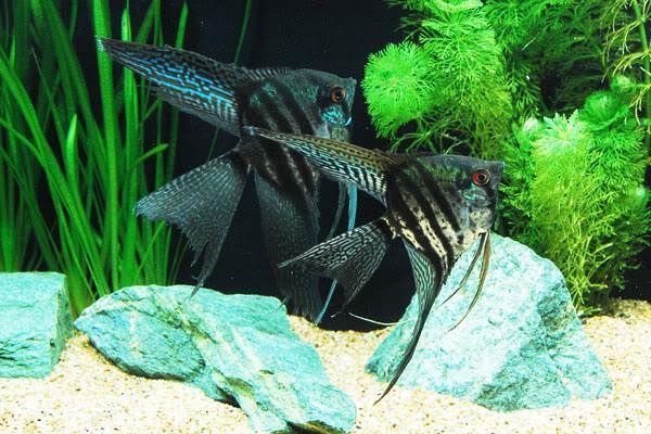 ماهی آنجل نوار سیاه (Black Lace Angel)