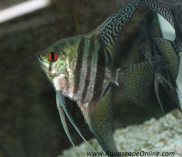 خصوصیات ماهی آنجل نوار سیاه