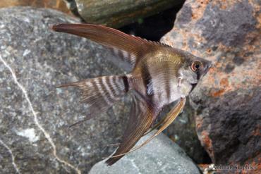 نگهداری ماهی آنجل نوار سیاه