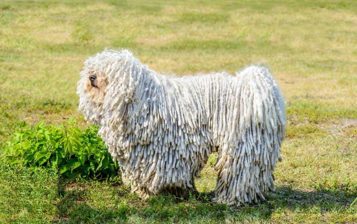 سگ نژاد پولی