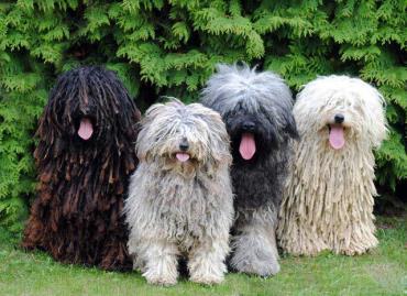 خلق و خوی سگ نژاد پولی