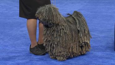 تاریخچه سگ نژاد پولی