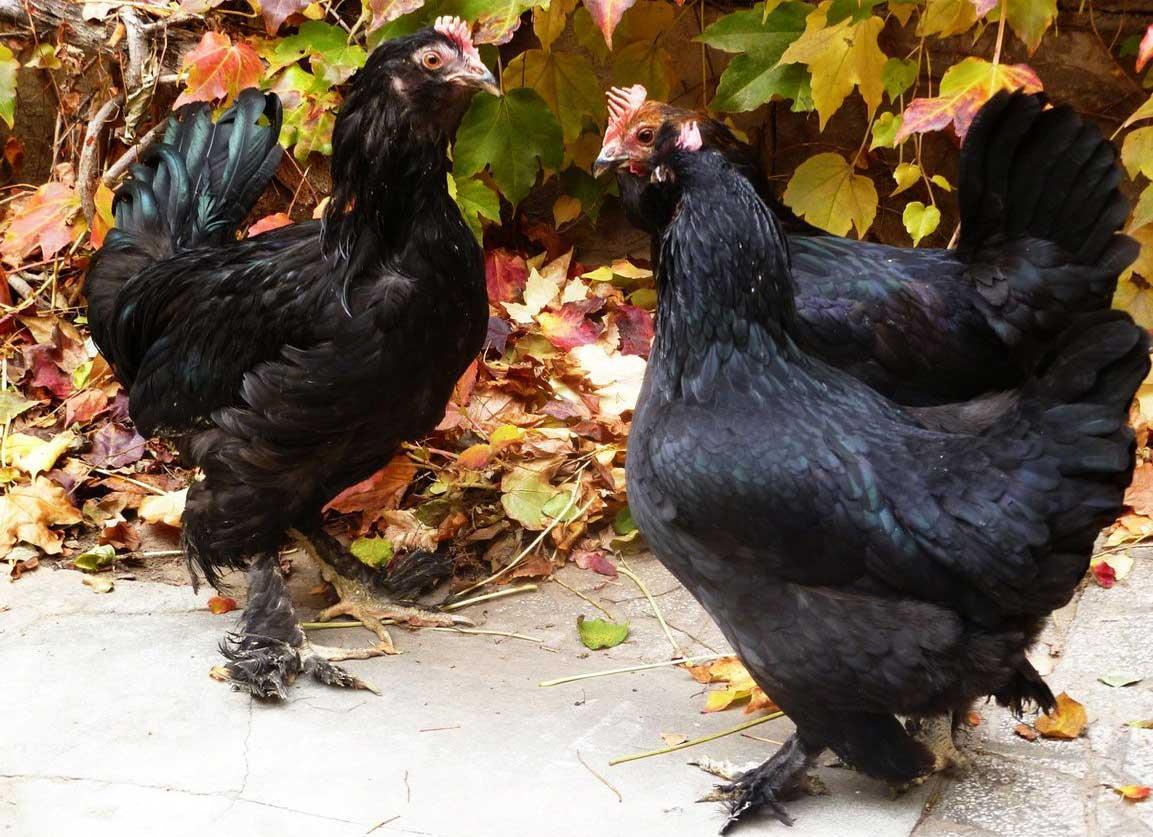 معرفی مرغ مرندی برترین نژاد مرغ تخمگذار محلی