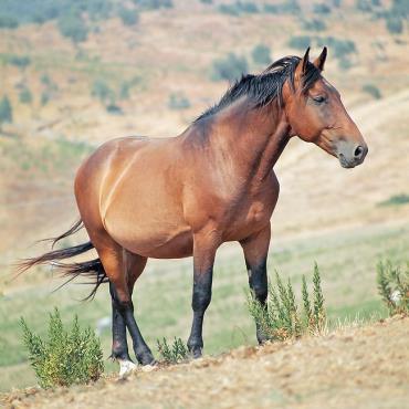 کاربری اسب نژاد مارمانو