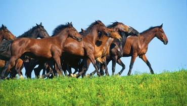 اسب مارمانو