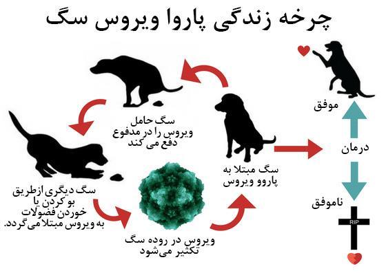 چرخه زندگی پاروو ویروس